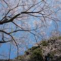 Photos: 39新宿御苑【桜:江戸彼岸】4