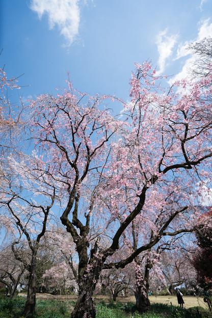 41新宿御苑【桜:枝垂れ桜】1