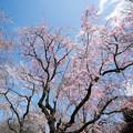 Photos: 41新宿御苑【桜:枝垂れ桜】1