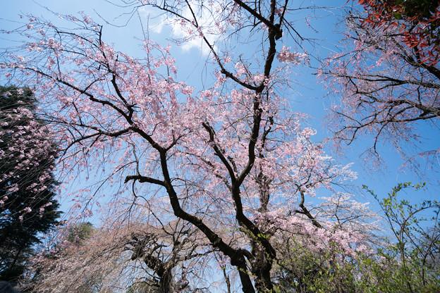 42新宿御苑【桜:枝垂れ桜】2