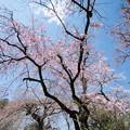Photos: 42新宿御苑【桜:枝垂れ桜】2