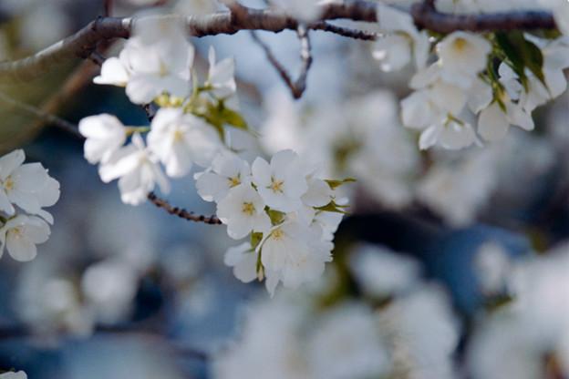 26新宿御苑【桜:大島桜】5銀塩NLP