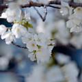 Photos: 26新宿御苑【桜:大島桜】5銀塩NLP