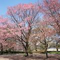 43新宿御苑【桜:陽光】1