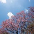 44新宿御苑【桜:陽光】2