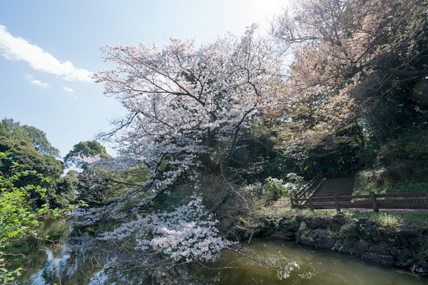 40新宿御苑【桜:江戸彼岸】5