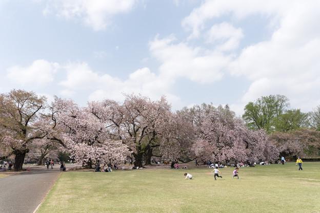 04新宿御苑の桜【苑内の眺め】4