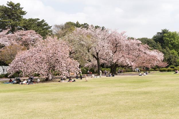 05新宿御苑の桜【苑内の眺め】5