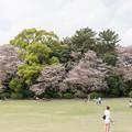08新宿御苑の桜【染井吉野】1