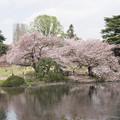 10新宿御苑の桜【染井吉野】3