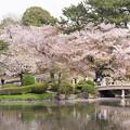 11新宿御苑の桜【染井吉野】4
