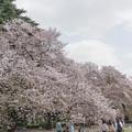 12新宿御苑の桜【染井吉野】5