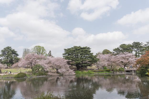 09新宿御苑の桜【染井吉野】2