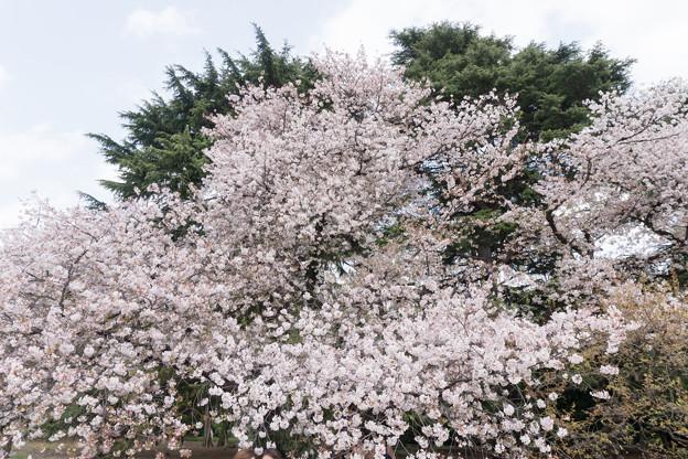 13新宿御苑の桜【染井吉野】6