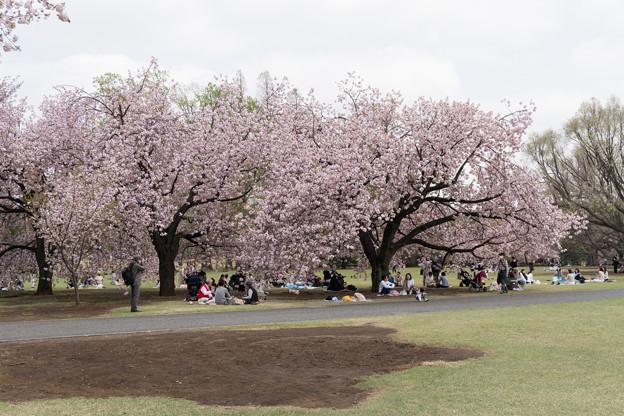 14新宿御苑の桜【一葉】1