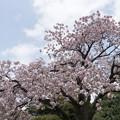 16新宿御苑の桜【一葉】3