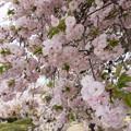 17新宿御苑の桜【一葉】4