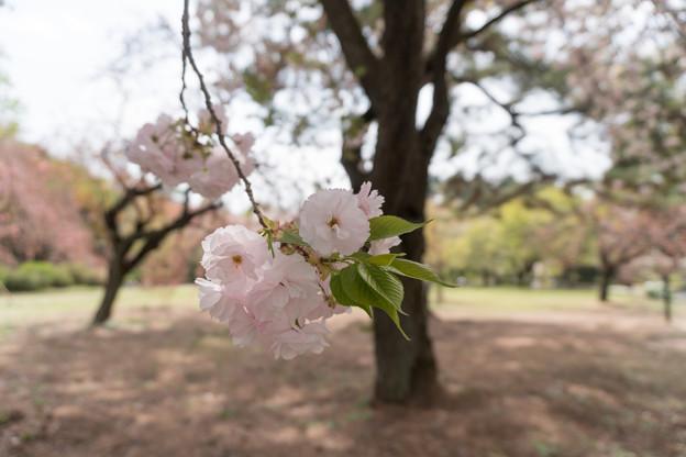 18新宿御苑の桜【一葉】5
