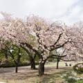 15新宿御苑の桜【一葉】2