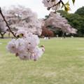 19新宿御苑の桜【一葉】6
