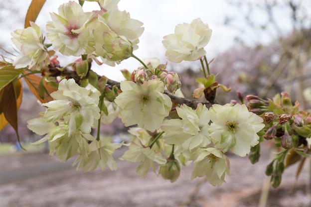 22新宿御苑の桜【鬱金】1