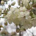 23新宿御苑の桜【鬱金】2