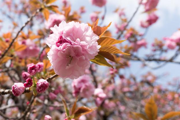 21新宿御苑の桜【関山】2