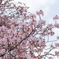 24新宿御苑の桜【長州緋桜】