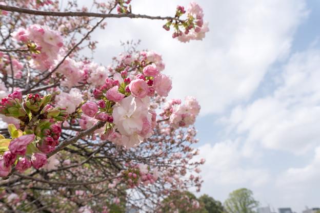 25新宿御苑の桜【福禄寿】1