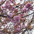 20新宿御苑の桜【関山】1