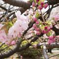 26新宿御苑の桜【福禄寿】2