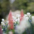 26里山ガーデン【チューリップ】9