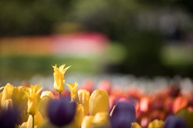 30昭和記念公園【渓流広場のチューリップのアップ】7