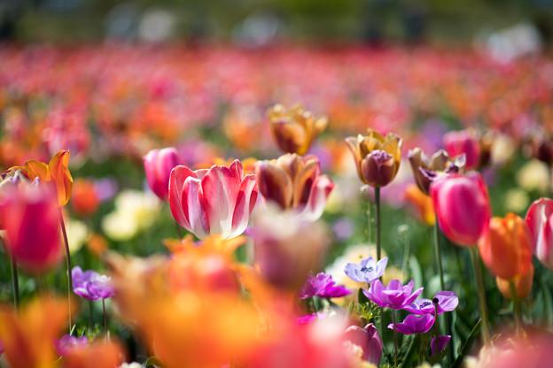 12花菜ガーデン【Nikkor85mm_f1.4】