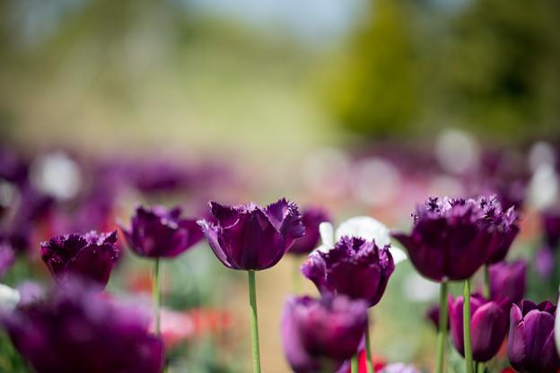 08花菜ガーデン【Nikkor105mm_f1.4】