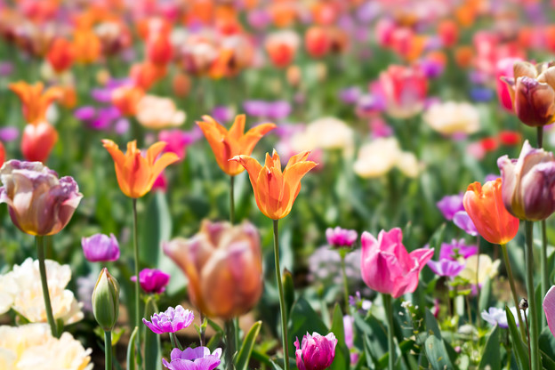 11花菜ガーデン【FE100mm_f2.8】