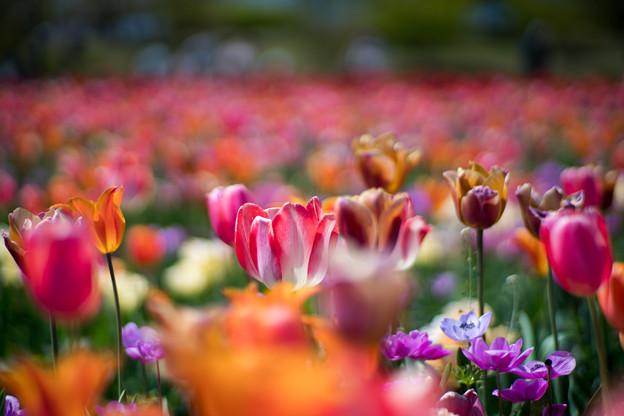 13花菜ガーデン【チューリップ:Planar_85mm_f1