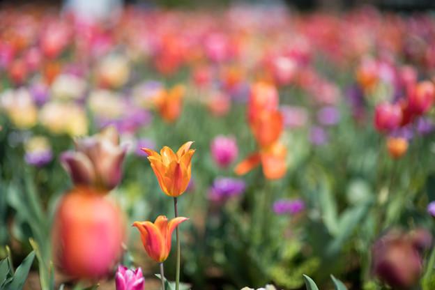 14花菜ガーデン【チューリップ:AF_Nikkor85mm_f1