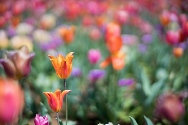 15花菜ガーデン【チューリップ:Planar_85mm_f1