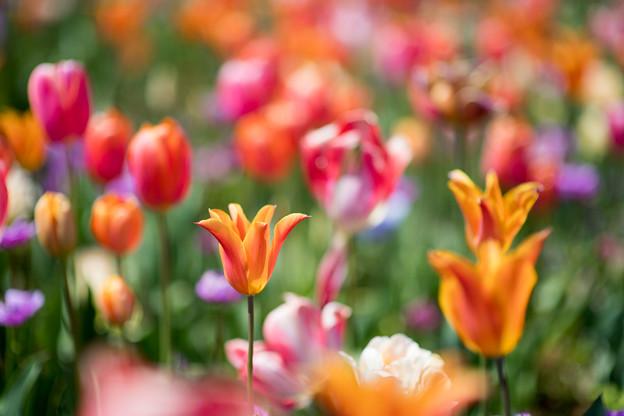 16花菜ガーデン【チューリップ:AF_Nikkor85mm_f1