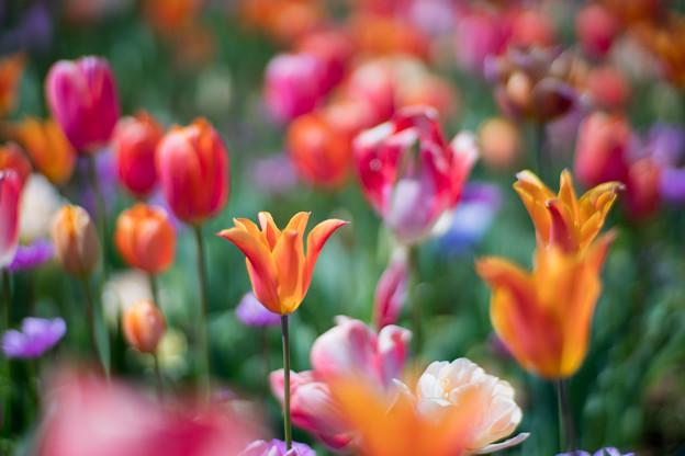 17花菜ガーデン【チューリップ:Planar_85mm_f1
