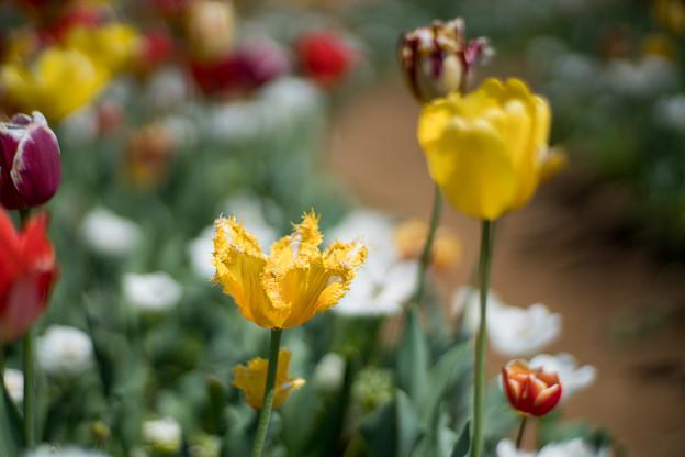 19花菜ガーデン【チューリップ:Planar_85mm_f1