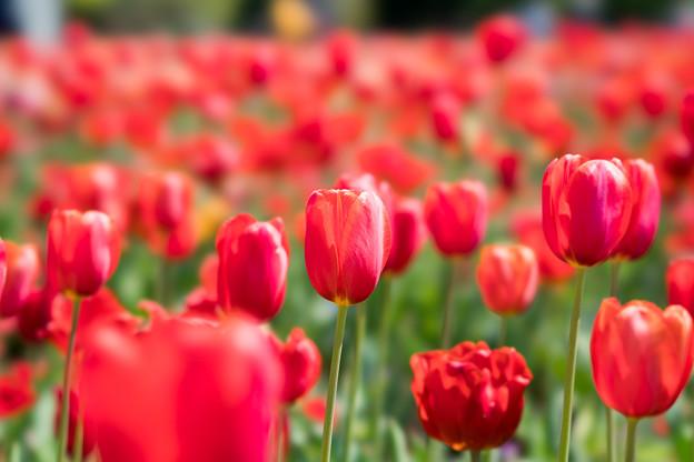 05花菜ガーデン【FE100mm_f2.8】