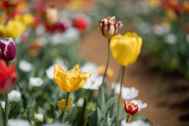18花菜ガーデン【Nikkor85mm_f1.4】