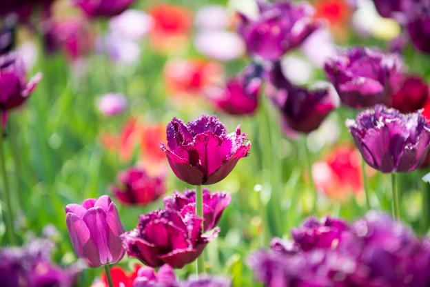 21花菜ガーデン【チューリップ:AF-S_Nikkor_70-200mm_F2