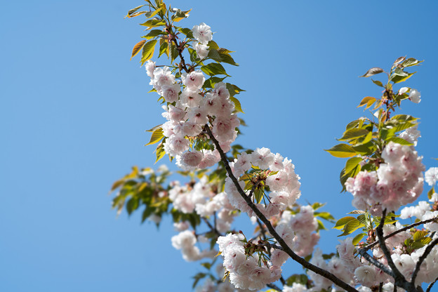 24花菜ガーデン【里桜:麒麟】1