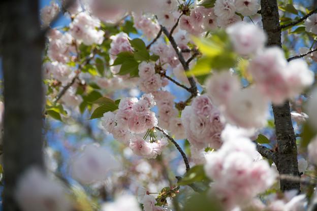 25花菜ガーデン【里桜:麒麟】2