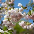 26花菜ガーデン【里桜:麒麟】3