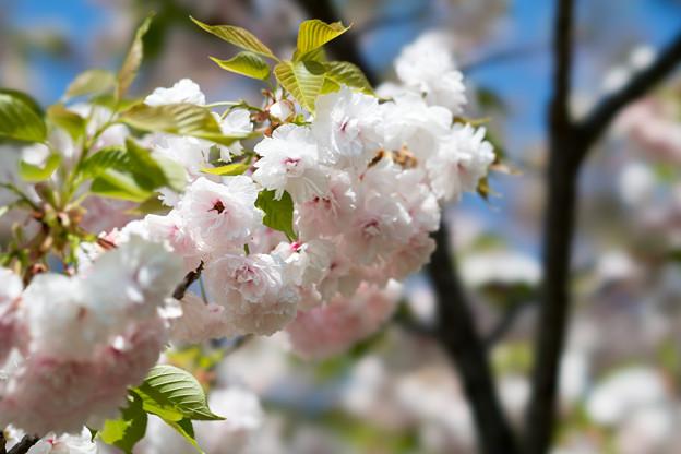27花菜ガーデン【里桜:麒麟】4