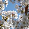 28花菜ガーデン【里桜:駿河台匂】1